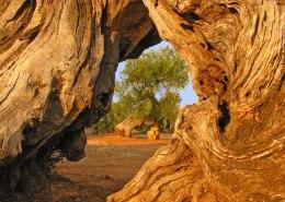 shutterstock_37326901-olive-tree-evoo-grove