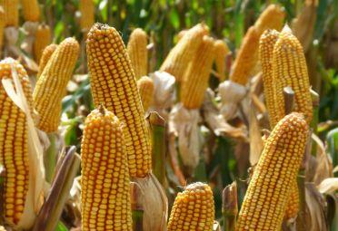 maiz con viptera 3