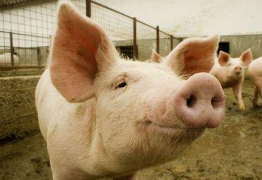 El curso de acreditación para el Programa de Enfermedades de los Porcinos en La Plata tendrá lugar el 29 y 30 de septiembre.