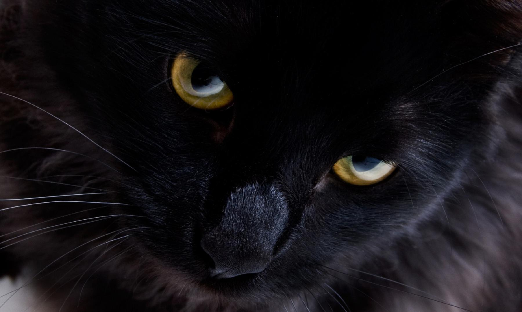 Cute Kitty Cat Wallpapers Curiosidades Sobre Los Gatos Negros
