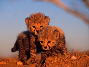 Cute Baby Cheetah Cubs Wallpaper Baby Animal Pictures Animal Wallpapers World Wildlife Fund