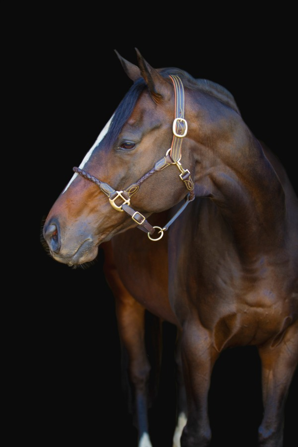 Premiera Vienna Halter Exudes Equine Elegance
