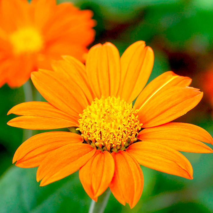 Fall Daisy Wallpaper Tithonia Seeds Orange View All Flower Seeds Flower