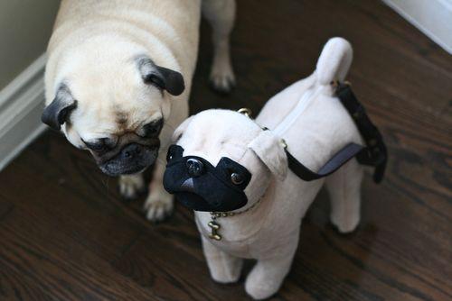 Pug checking out pug bag