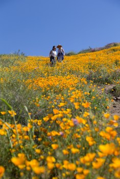 California_poppies-132
