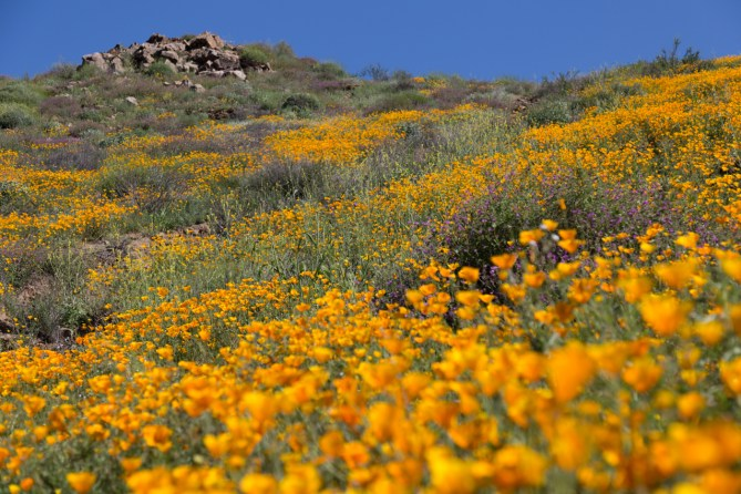 California_poppies-145
