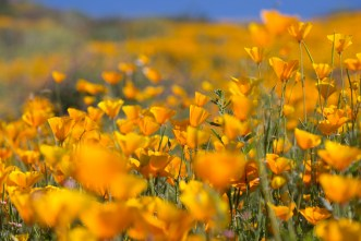 California_poppies-148