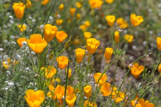 California_poppies-18