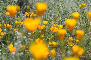 California_poppies-19