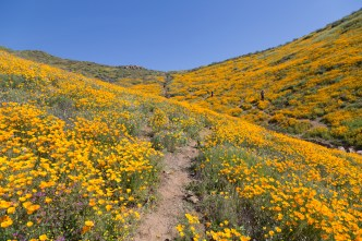 California_poppies-192