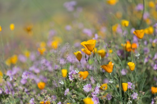 California_poppies-28