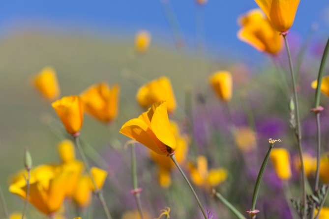 California_poppies-36