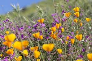 California_poppies-39