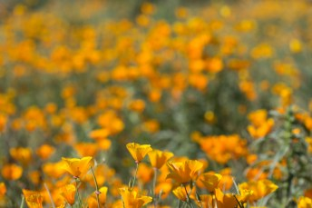 California_poppies-80
