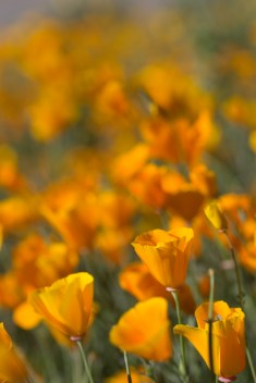 California_poppies-82