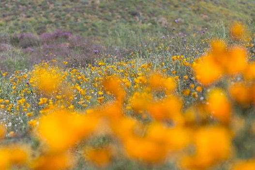 California_poppies-84