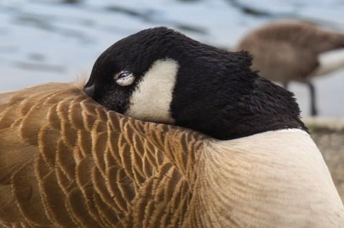 Canadian goose nap