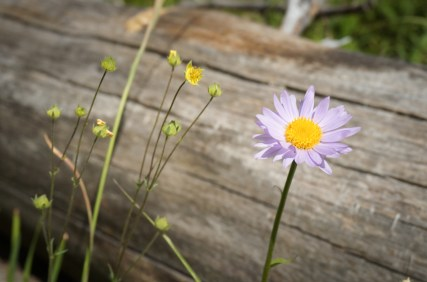 wild purple daisy