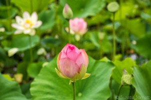 Budding lotus flower