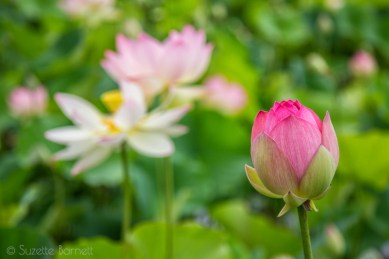 Young pink lotus flower
