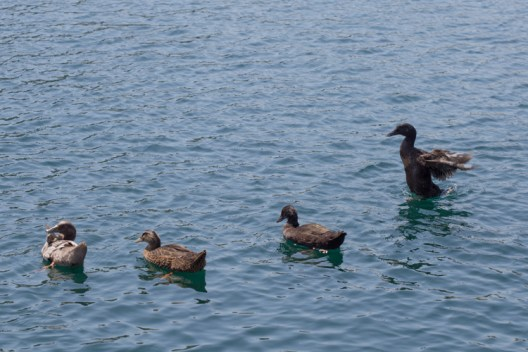 Ducks swim on the lake