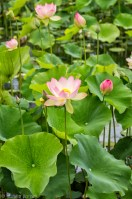 Pink lotus flower open