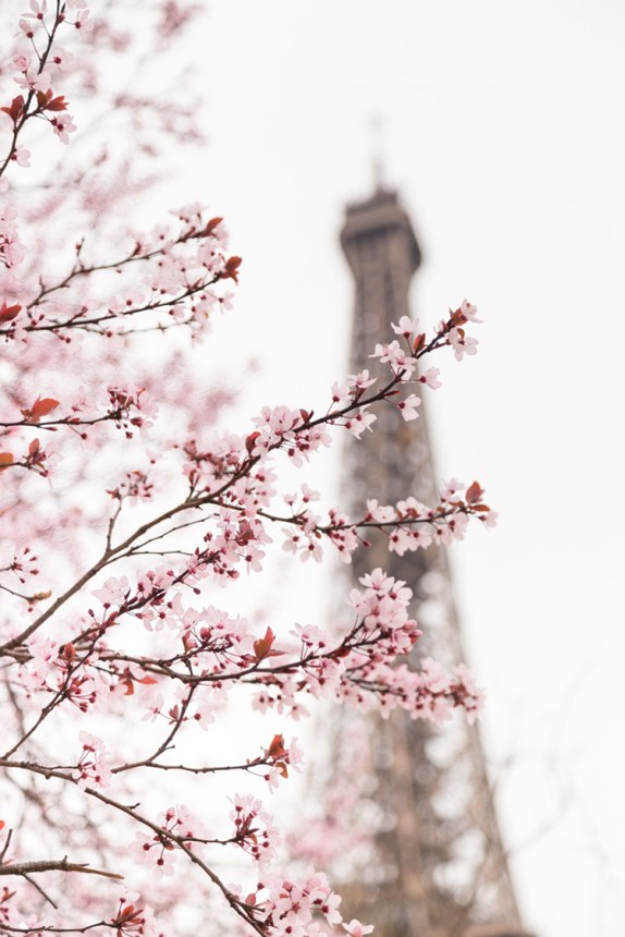 Paris in Spring, pink plum blossoms