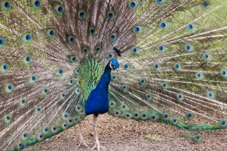 Hawaiian peacock