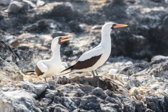 Nazca Boobies on Espanola Island in Galapagos National Park