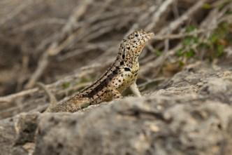 Wild lizard on Santa Fe Island, Ecuador