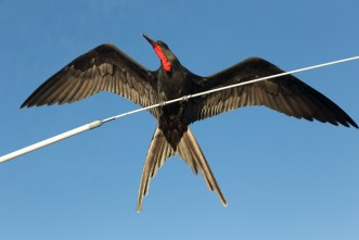 Male Frigatebird on Cruiseship
