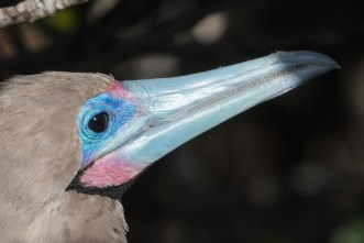 Red Footed Boobie Bird