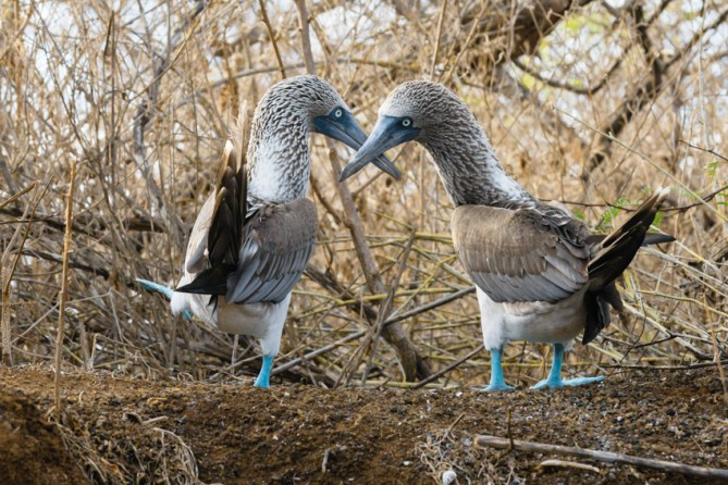 Blue Footed Boobies on Floreana Island