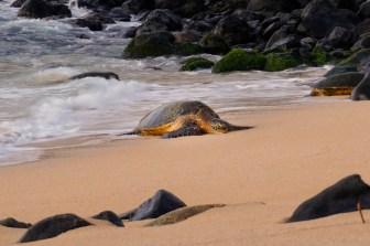 Sea turtle on the shore Maui