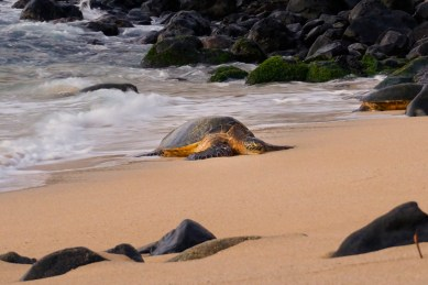 Sea turtle on the shore Maui