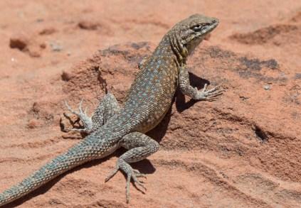 red rock lizard