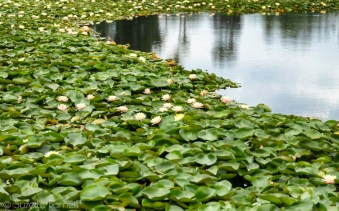 Sea of lotus flowers