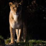 Female-lion-free-license-CC0-980x652