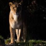 Female-lion-free-license-CC0-980x652