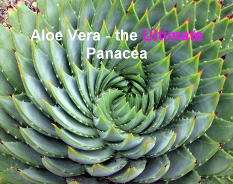 Aloe Vera Plant, the Ultimate Panacea, Featured Image, Image Credit Wikipedia