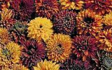 Семена садовых цветов