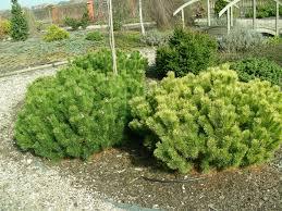 Хвойные растения для сада фото и названия - карликовая сосна