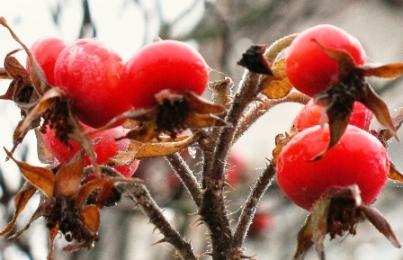 плоды шиповника - лечебные свойства и противопоказания