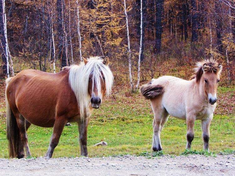 russia-potd-yakutsk-horses