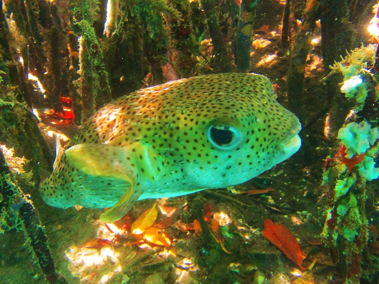 Pufferfish in the mangroves