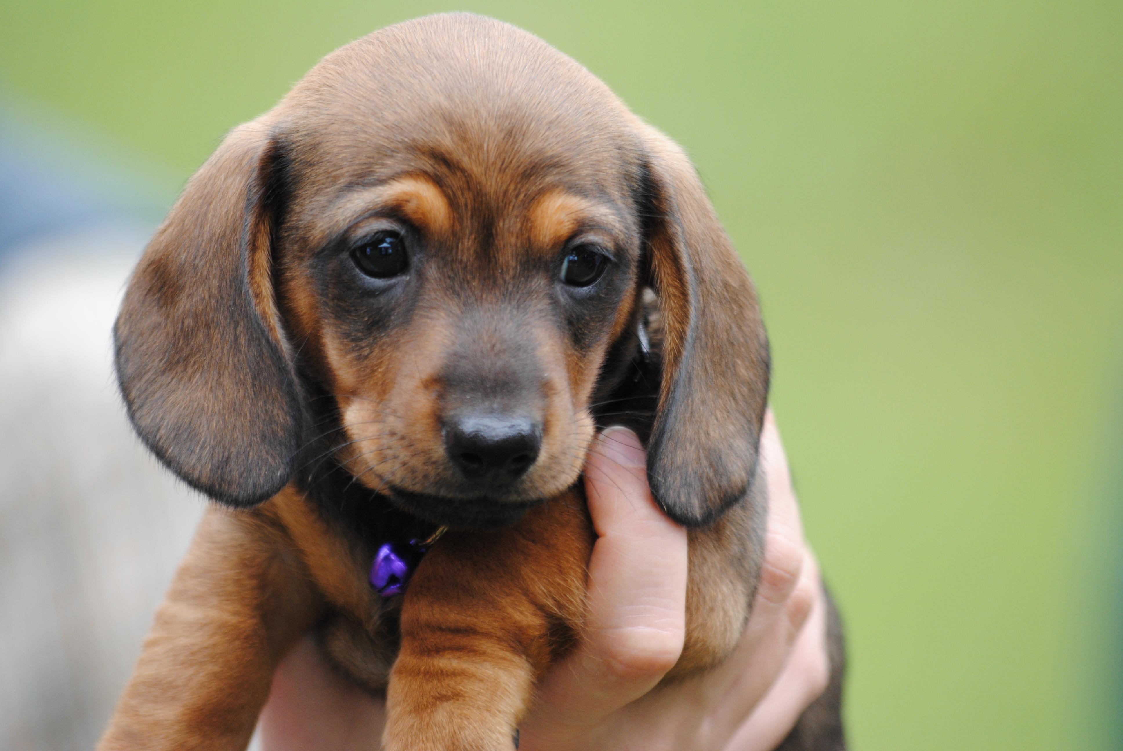 Cute Dachshund Wallpaper Puppy Love