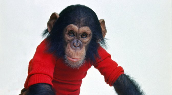 This is Nim Chimpsky, the subject of an experiment that went wrong by overestimating how chimpanzees are to humans humans.