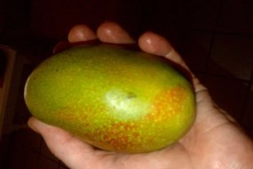 Mangoes in Jamaica