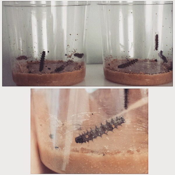 Caterpillars on day one