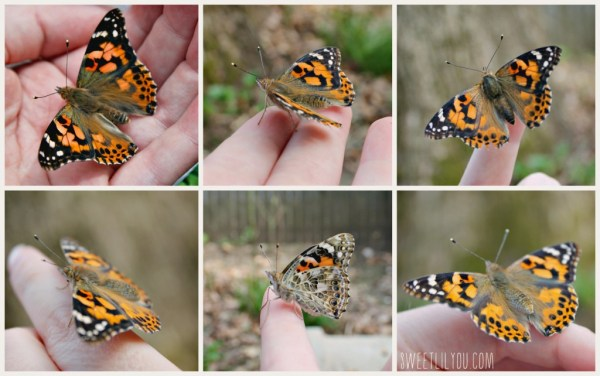 Collage photos of a few Painted Lady Butterflies